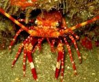 Lobsters of the Pitcairn Islands